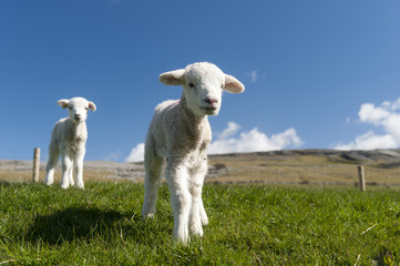 Lambs in spring playing in meadow on a bright sunny day, Cumbria, England
