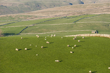Sheep grazing in upland pastures, near Kirkby Stephen, Cumbria, England