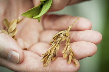 Man's hand holding dried plant, Fallston, Maryland, United States of America