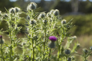 Common thistle (Cirisium vulgare) along road near Kamuela, Hawaii, United States of America