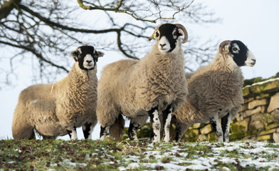 Three swaledale sheep on a hill end, Yorkshire, England