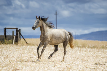Horse running in a field, Cape Town, Western Cape, South Africa