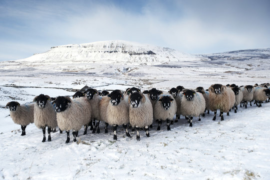 Flock of Dalesbred sheep on snowy moorland, near Penyghent, North Yorkshire, England