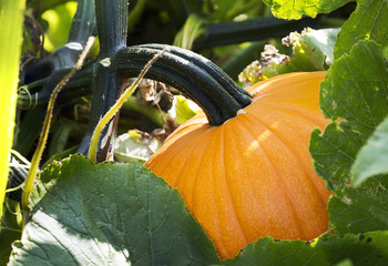 Close up of orange pumpkin on the vine, Innisfail, Alberta, Canada