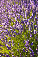 Blooming field of lavender (lavandula angustifolia) around sault and aurel in the chemin des lavandes,Provence-alpes-cote d'azur france