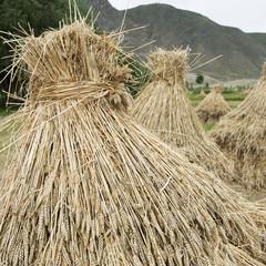 Wheat bundled in a field,Xizang china