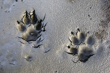Wolf tracks in the brooks range gates of the arctic national park northwestern alaska;Alaska united states of america