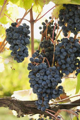 Bunches of dark red grapes on a backlit vine,Emilia-romagna italy