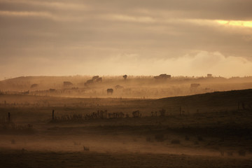 Cattle in foggy field at sunset, Dumfries and Galloway, Scotland, UK