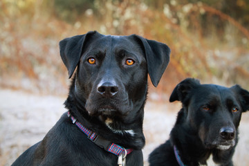 Portrait of two black dogs sitting outside on a frosty morning near yosemite national park;Coulterville, california, united states of america