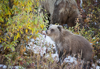 Brown bear (ursus arctos) cub plays in the snow in autumn denali national park;Alaska united states of america