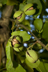 Agriculture - Mature walnuts on the tree with cracked husks, ready for harvest / near Linden, San Joaquin County, California, USA.