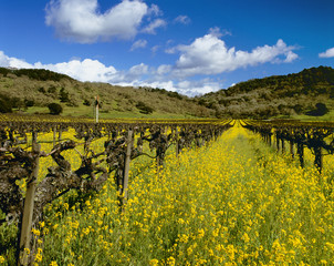 Vineyard with mustard in full bloom, Napa Valley, California, USA