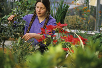 Agriculture - A university botanist tends to plants in a horticulture and botany greenhouse / Duluth, Minnesota, USA.