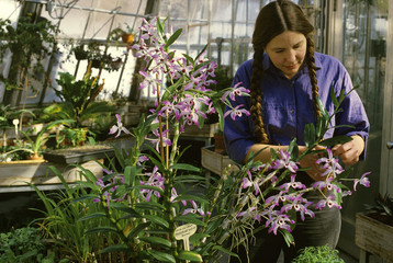 Agriculture - A university botanist tends to orchids in a horticulture and botany greenhouse / Duluth, Minnesota, USA.