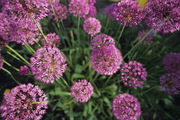 Agriculture - Ornamental onion blossoms (Allium aflatunence) / Wisconsin, USA.