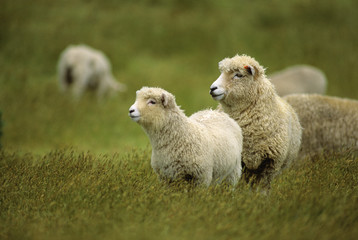 Livestock - A ewe and her lamb on a green pasture / near Cape Farewell, New Zealand.