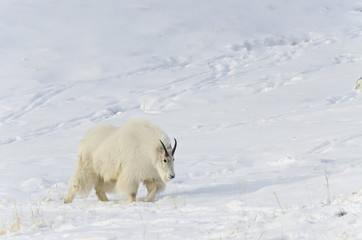 Mountain goat (oreamnos americanus);Yukon canada