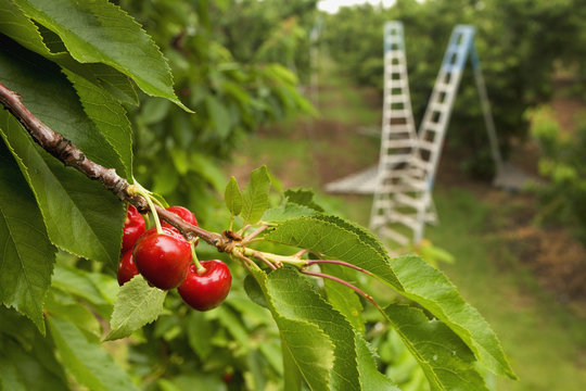Agriculture - Treetop view of ripe Bing cherries on the tree with harvesting ladders in the background / near Linden, San Joaquin County, California, USA.