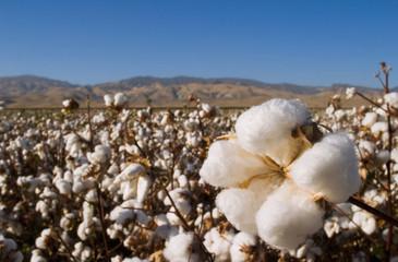 Cotton boll, San Joaquin Valley, California, USA
