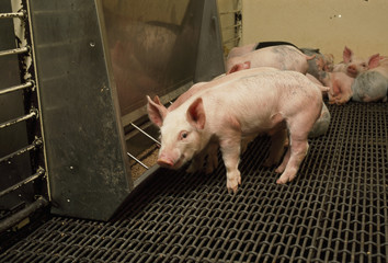 Livestock - Young pigs at a feeder in a confinement facility nursery shortly after being weaned / Iowa, USA.