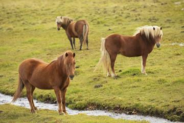 Icelandic Horses Grazing, Vidimyri, Skagafjordur, Iceland