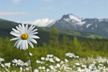 Daisies in meadows if Turnagain Pass in Chugach National Forest