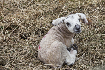 A Lamb Laying In Hay, Northumberland, England