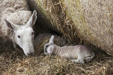 A Sheep And Lamb Together In The Hay, Northumberland, England