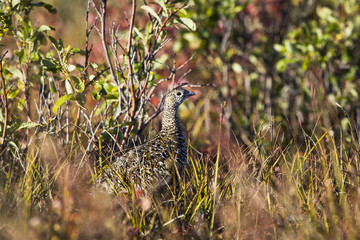 A bird stands camouflaged in the tall grass in the brooks range gates of the arctic national park northwestern alaska;Alaska united states of america