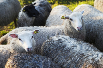 A flock of sheep in a pasture, Oland, Sweden