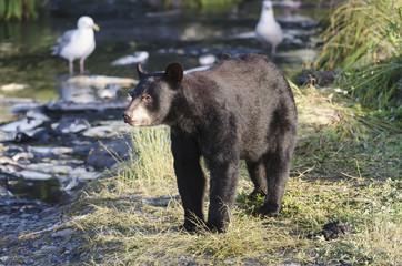Black bear (ursus americanus) stands on bank of salmon spawning stream;Valdez, alaska, united states of america