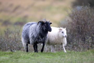 A black sheep and white sheep side by side on grass, Iceland