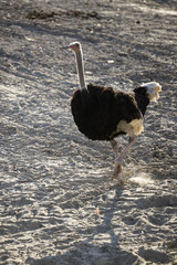 Ostrich with running in field.