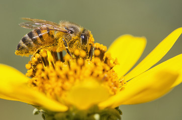 A bee is busy pollenating flowers as it goes about it's job collecting pollen, Bolivia