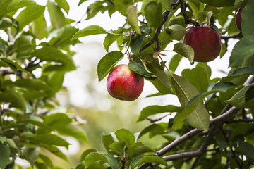 Empire apples on the tree, Norfolk County, Ontario, Canada