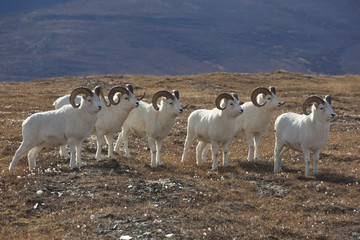 Dallsheep  rams, Denali National Park, Alaska, USA