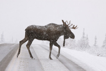 A Bull Moose Crosses The Park Road In Denali National Park During A Snowstorm In September, Interior Alaska