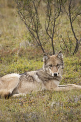 Adult Gray Wolf Of The Grant Creek Pack Resting On The Tundra At Stony Pass, Denali National Park And Preserve, Interior Alaska, Autumn