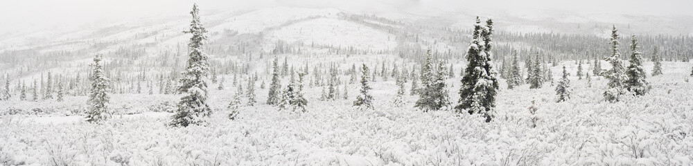 Panorama Landscape Of The First Snowfall On Spruce Trees And Tundra, Denali National Park, Interior, Alaska