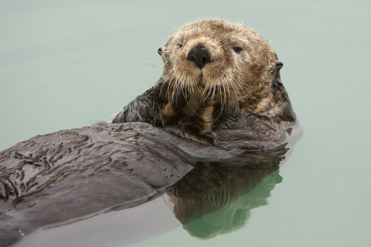 An Adult Sea Otter Floats In The Calm Waters Of The Valdez Small Boat Harbor, Southcentral Alaska, Summer