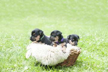 Hundebabys, 3 Welpen im Körbchen, Jack Russel Welpen
