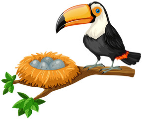 Toucan and eggs in nest