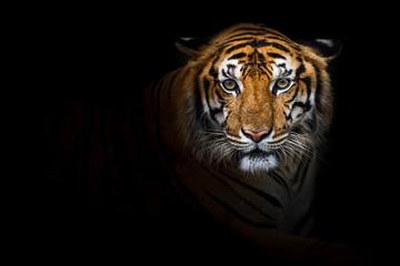 Foto auf Acrylglas Tiger Tigers