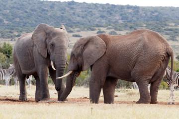 Trunks - African Bush Elephant