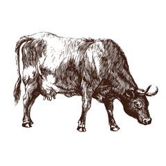 Cow illustration. Vector art