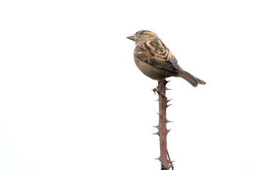 Sparrow standing on the top of the main branch of a cutted rose