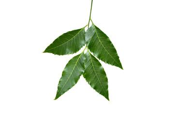 Medicinal neem leaf isolated on white background