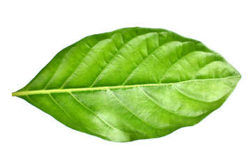 great morinda leaf on white background, Indian mulberry, noni, beach mulberry, cheese fruit