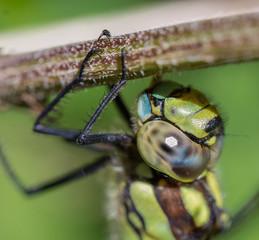 Dragonfly head